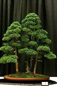 office bonsai. hot sale 20 rare beautiful juniper bonsai tree potted flowers office purify the air absorb harmful gases e