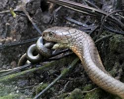 king cobra snake eating. Unique Snake King Cobra Eating Another Snake In King Cobra Snake Eating C