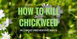 getting rid of chickweed. Contemporary Rid Inside Getting Rid Of Chickweed