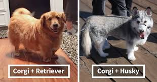 10 times corgis mixed with other breeds and the result was absolutely pawsome