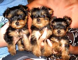 teacup yorkie puppies for adoption. Wonderful Teacup Inside Teacup Yorkie Puppies For Adoption U