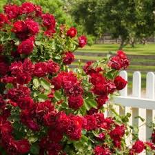 Image result for image red rose bushes