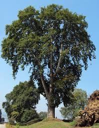 Platanus orientalis - Wikipedia