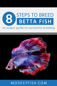 Betta Fish Chart How To Breed Betta Fish An Expert Guide To Successful Breeding