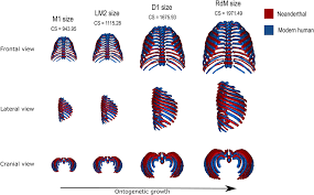 Most humans have 12 pairs of rib bones with one from each pair on each side of the chest. Early Development Of The Neanderthal Ribcage Reveals A Different Body Shape At Birth Compared To Modern Humans Science Advances