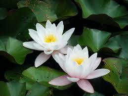 Resultado de imagem para fotos da flor lotus