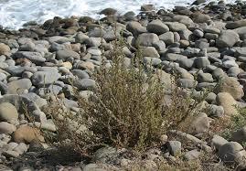 Bassia hyssopifolia - Wikipedia