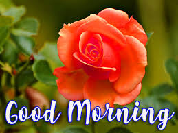Good morning wishes romantic rose ...