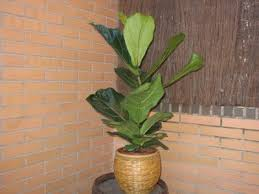 the fiddle leaf fig tree is monly used as an indoor potted plant it is relatively easy to care for has large beautiful leaves and has a slow rate of