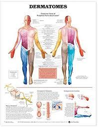 Dermatomes Anatomical Chart