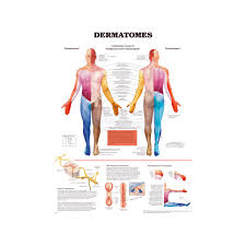Dermatomes Educational Charts Posters For Students