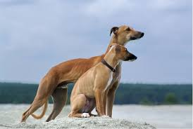 whippet breed profile
