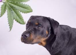 is weed toxic to dogs