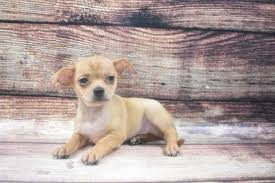 chihuahua puppies in virginia