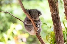 engineergirl essay contest engineering and animals  2017 engineergirl essay contest engineering and animals sleeping koala