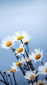description free white daisies flowers iphone 5 wallpaper