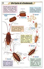 Life Cycle Of Cockroach For Zoology Chart