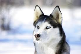 baby husky in snow. Fine Husky In Baby Husky Snow