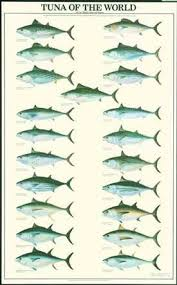 Tuna Fish Size Chart Amazon Com Tuna Fish Poster And Identification Chart