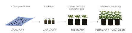 Tomato Seed Growth Chart The Beginners Guide To Hydroponic Tomatoes Upstart University