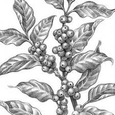 vintage coffee plant illustration. Beautiful Plant Coffee Plant Clipart Botanical Illustration  Pin To Your Gallery Explore  What Was Found For The Coffee Plant To Vintage Illustration P