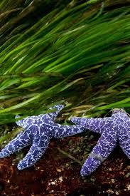 best starfish images stars starfish and google sea stars british columbia photograph by thomas p peschak purple sea stars and eelgrass flourish in the waters off the coast of british columbia