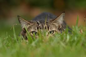 any outdoor cat can be a threat to birds but you can help