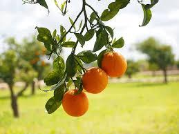 oranges fruits orange tree citrus