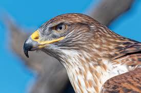 What Is A Hawk Light Ferruginous Hawk Audubon Field Guide