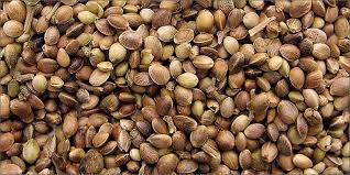 Image result for cannabis seeds