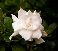 average american flower size august beauty gardenia monrovia august beauty gardenia