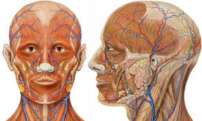 face anatomy liam roberts bagd yr2 face anatomy pictures