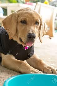 Immagini Stock - Il Cucciolo Di Cane Di Labrador Retriever è Animali Carino  Per La Famiglia Con Il Bambino Image 26532592.