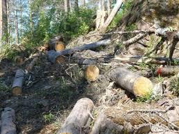 Місцева прокуратура попереджає про відповідальність за порубку лісу