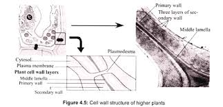essay on cell wall for school and college students cell biology cell wall structure of higher plants