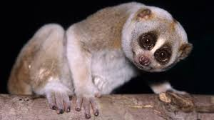 The Slow Loris Is a Cuddly-looking Primate With a Toxic Bite | HowStuffWorks
