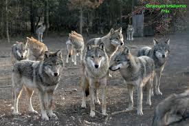 gray wolf pack playing. Exellent Playing In Gray Wolf Pack Playing C