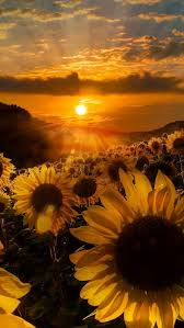 İphone Sunflower Wallpaper - EnJpg