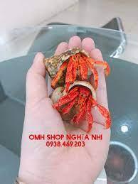 ❤️PERLATUS... - Ốc Mượn Hồn - shop Nghĩa Nhi - TP.Hồ Chí Minh