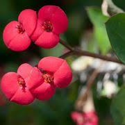 Aptenia cordifolia - Aptenia cordifolia - Piante Grasse - Aptenia ...