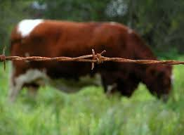 barbed wire fence cattle. Rusty Barb Wire. Wire FenceCow Barbed Fence Cattle W