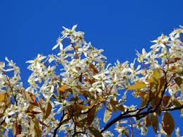 Resultado de imagen de flor eucaliptus miel