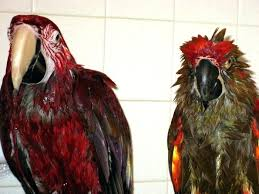 bird shower back to macaw page red bird shower curtain hooks