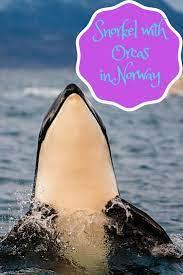Snorkel With Orcas In Norway Snorkeling Best Scuba Diving Norway