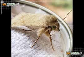 Corn Earworm Control Corn Earworm Moth