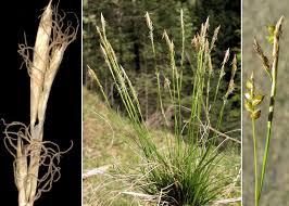 Carex alba Scop. - Portale sulla flora del Parco Naturale Dolomiti ...