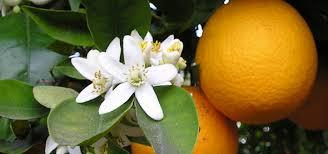 Buy Florida Trees  FL Plants Sale  Best Florida Fruit TreeFruit Trees For North Florida
