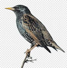 Wer wird der vogel des jahres 2021 werden? Burung Jalak Burung Vogel Des Jahres Bulu Biasa Burung Hewan Fauna Png Pngegg