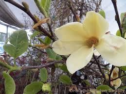 magnolia x hot flash