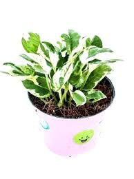 office plants no light. Office Plants Low Light Indoor Best And Of That . Need No